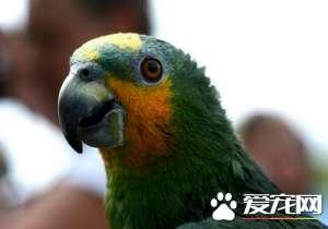 橙翅亚马逊鹦鹉说话能力 说话能力还是很强的