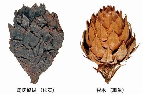 杉木祖先隐身蒙古褐煤层