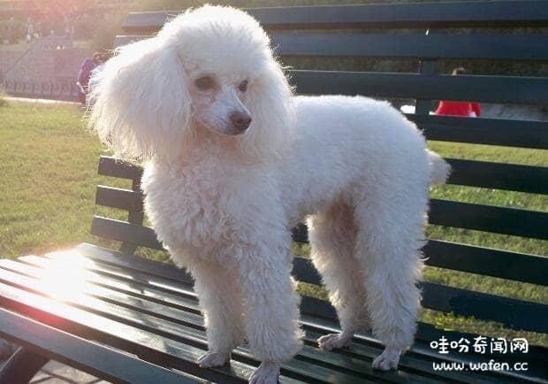 世界十大体味最小的狗狗傻蛋二哈荣耀进入体味最小排行榜